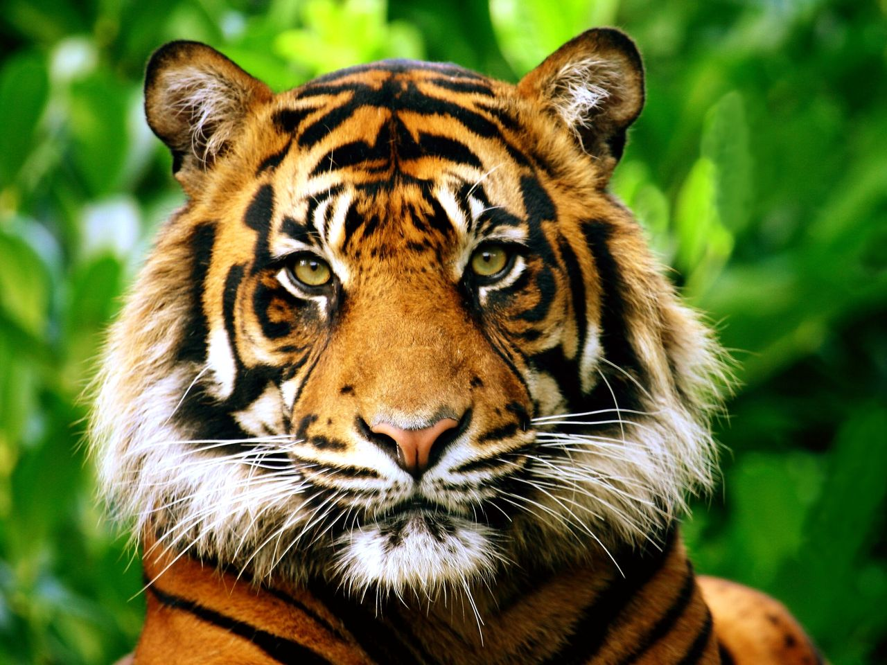 What Does It Mean To Dream Of Tigers